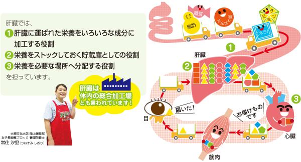 肝臓の役割